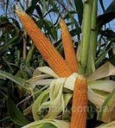 Buy corn seeds, high-yielding varieties